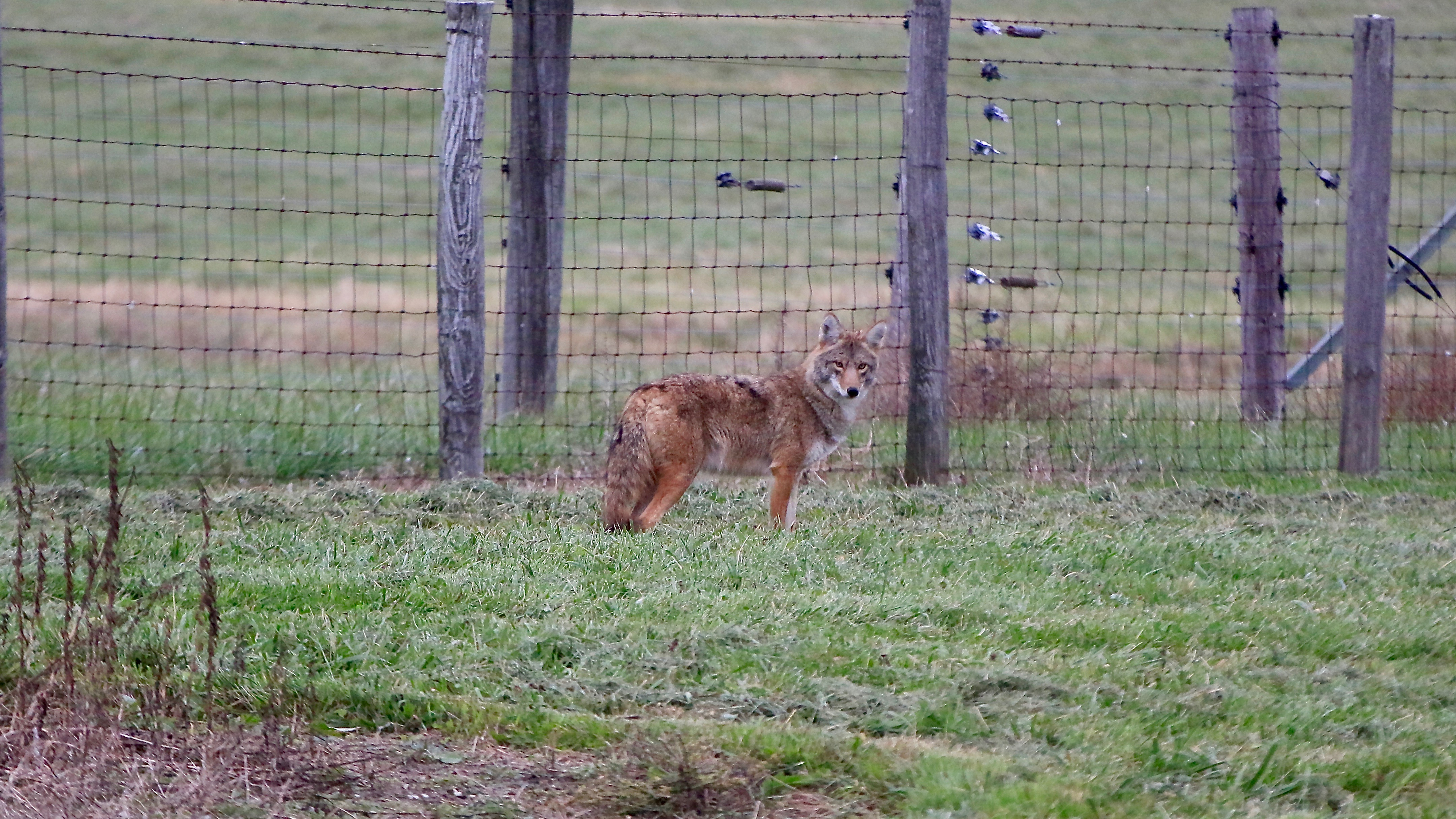 A coyote was spotted in the very early morning along Road D in front of the bison pasture. It then proceeded to sneaking into the pen, surely to stalk geese ... nature, wildlife, animal, mammal, coyote Photo: Adrien Hourlier