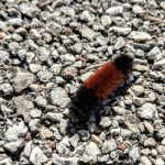 During a lunchtime walk along the inbound Pine Street sidewalk, the photographer found this Pyrrharctia isabella, or woolly bear, caterpillar doing the same. nature, wildlife, animal, caterpillar, woolly bear caterpillar Photo: Cindy Joe