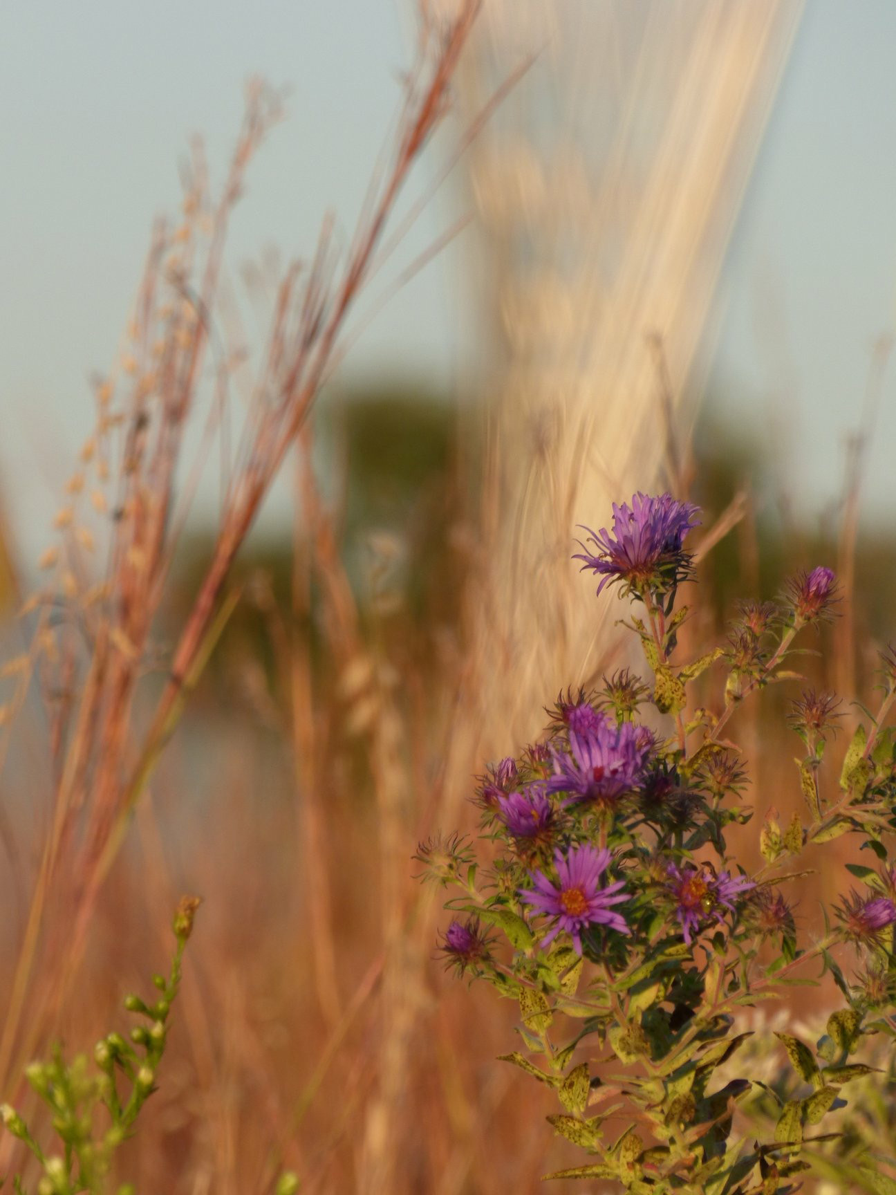 New England aster is seen in a Fermilab in the fall. nature, plant, flower, New England aster Photo: Amy Scroggins