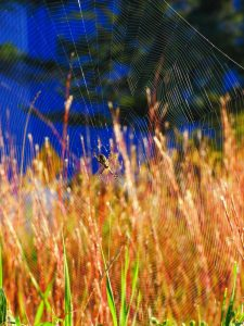(2/2) The web seems to stretch over quite an area! nature, wildlife, animal, spider Photo: Amy Scroggins