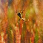 (1/2) A black and yellow garden spider sits in the middle of its big web. nature, wildlife, animal, spider Photo: Amy Scroggins
