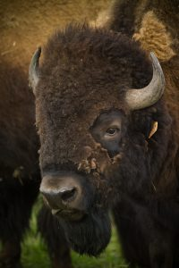 A rarely captured moment: A bison transitions into a werebison, shedding its fur. Photo: Spider Spawn
