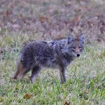 This coyote was seen on Dec. 21 across the road from the bison pasture — close enough to the road that the photographer needed only pull over, stop the car, roll down the window and shoot. nature, wildlife, animal, mammal, coyote Photo: Adrien Hourlier