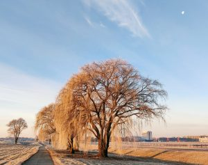 Willows visually canopy Wilson Hall on the early morning of Dec. 26, 2018. nature, landscape, tree, willow, winter, building, Wilson Hall, sky, prairie Photo: Valery Stanley