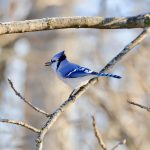 The stream and woods near the Lederman Science Center make a perfect habitat for this blue jay, seen on Jan. 3. nature, woods, wildlife, animal, bird, blue jay Photo: Adrien Hourlier