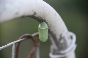 This monarch chrysalis was spotted last year in the Fermilab Garden area. nature, wildlife, insect, animal, butterfly, caterpillar Photo: Eileen Berman