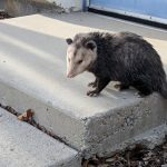 Typically nocturnal, this marsupial wanders around Industrial Building 3 on a warm late December day. nature, wildlife, mammal, opossum Photo: Fred Nobrega