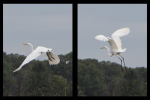 A cool egret flies over the Main Ring cooling pond at AZero on Oct. 10, 2018. nature, wildlife, bird, egret Photo: Elliott McCrory