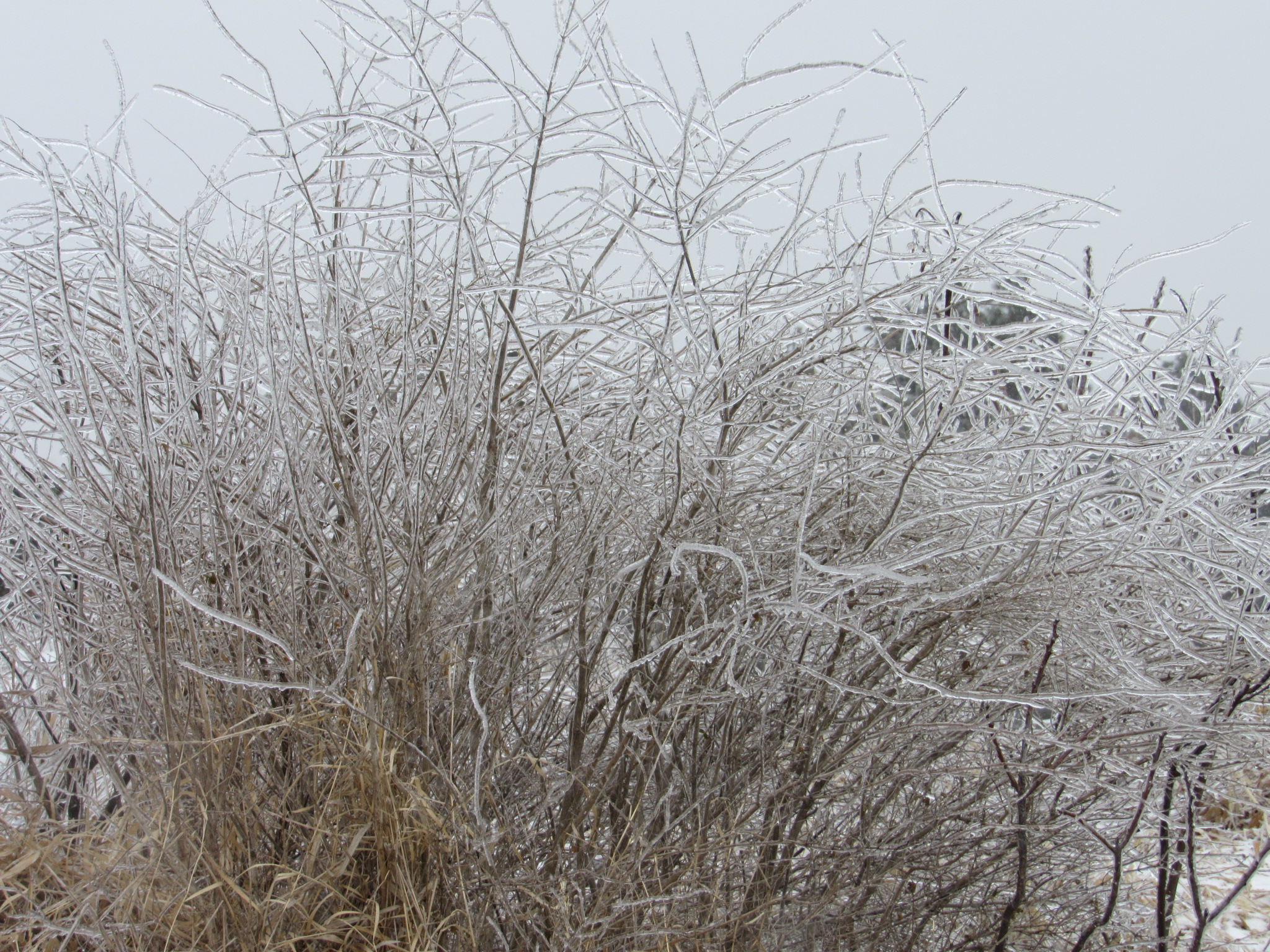 (4/4) The grass over the Tevatron molehill form tiny ice sticks. nature, winter, ice, plant, grass Photo: Luciano Elementi