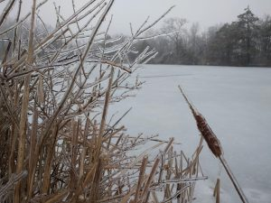 (1/2) Plants all over the Fermilab site are covered in ice ... nature, landscape, winter, ice, plant, cattail, grass, lake, water Photo: David Caratelli