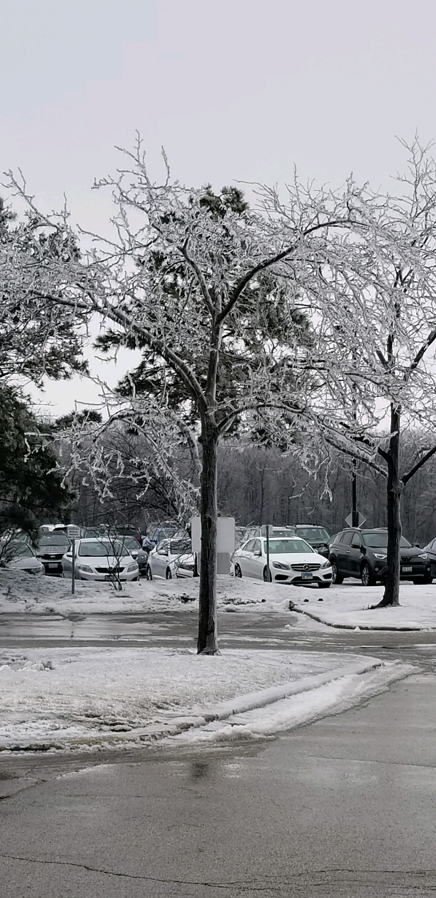 (2/5) The west parking lot is a virtual ice forest. winter, ice, tree, plant Photo: Rhonda Graham