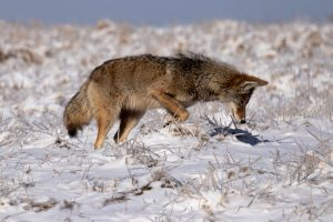 (1/3) On Feb. 13, a coyote sniffs the snow near the horseshoe pond on Road C, looking for a lunch. nature, wildlife, animal, mammal, coyote, winter, snow Photo: Seth Graham