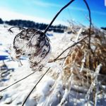 A prairie flower takes on a different kind of beauty when coated with ice. nature, wildlife, plant, flower, prairie, winter, ice, sky Photo: Judy Nunez