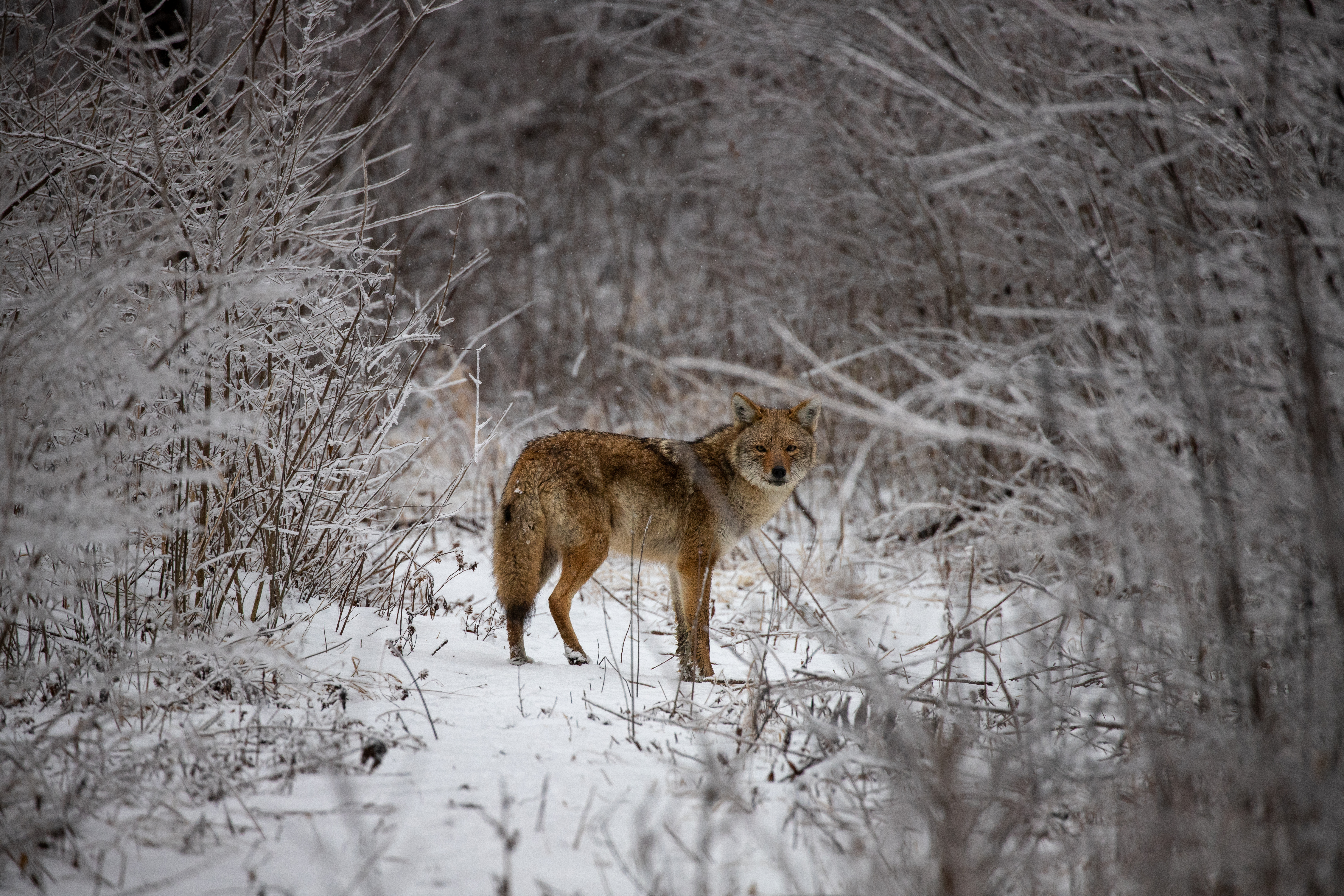 (2/3) A coyote in the bushes looks for protection from the wind in an icing rainstorm. nature, wildlife, animal, mammal, coyote, winter, snow, woods, tree, plant Photo: Adrien Hourlier