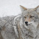 This coyote was seen on a wintry February day. nature, wildlife, animal, mammal, coyote, winter Photo: Ed Dijak