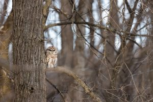 A barred owl chills out near Indian Creek after a late afternoon snack with red blood stains on its beak. nature, wildlife, bird, animal, owl, barred owl Photo: Adrien Hourlier