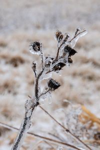 (1/2) With a winter like this, we're ready for summer. Prairie flowers are coated in ice on Feb. 12. nature, winter, ice, plant, flower, prairie Photo: Marguerite Tonjes