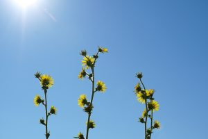 (2/2) This is what we have to look forward to. This picture of compass plant flowers in the sunshine was taken on July 18. nature, plant, compass plant, flower, sky, sun, summer Photo: Marguerite Tonjes