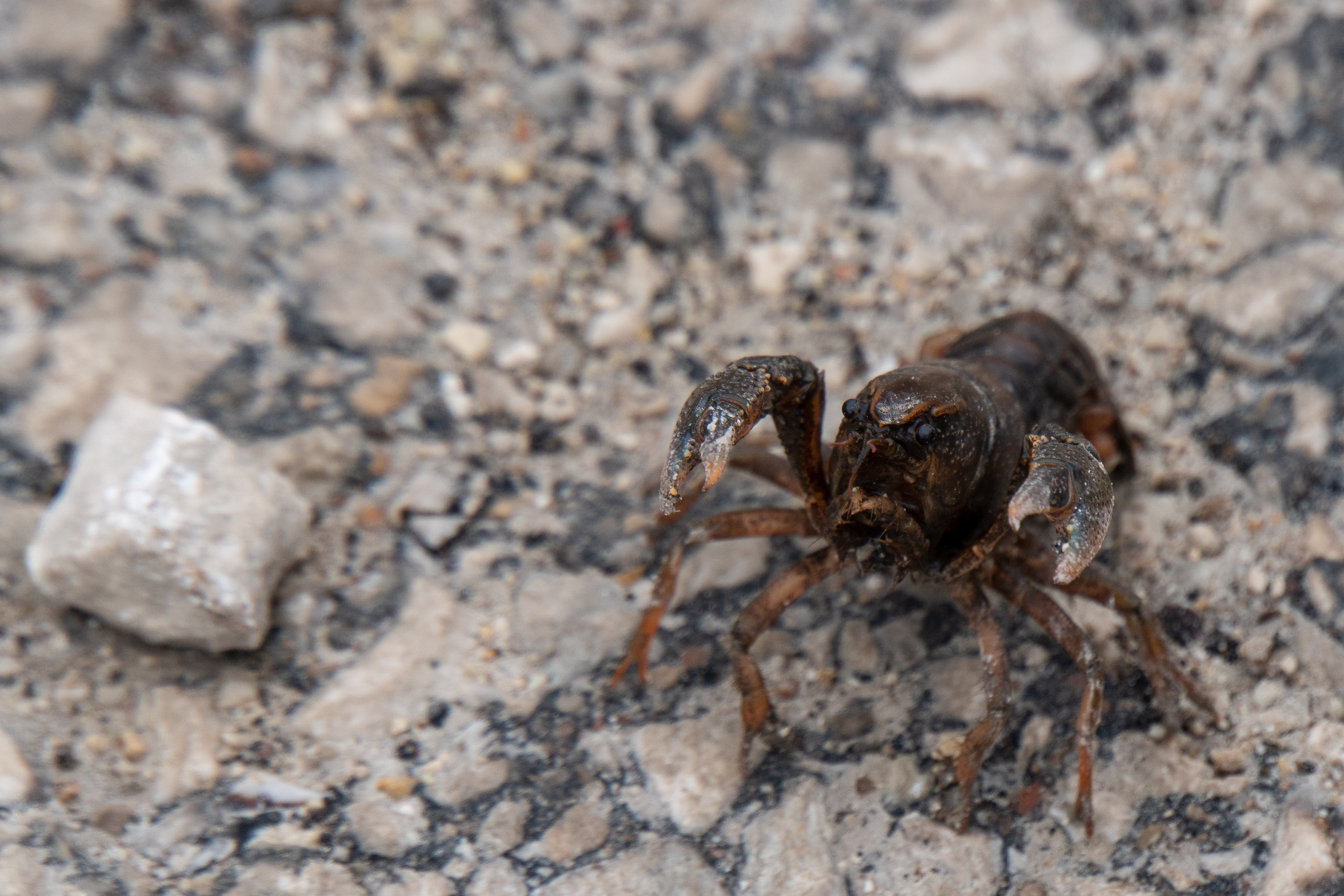 (1/2) A digger crayfish is as surprised as the walker was to see it on the road. nature, wildlife, animal, crayfish Photo: Marguerite Tonjes