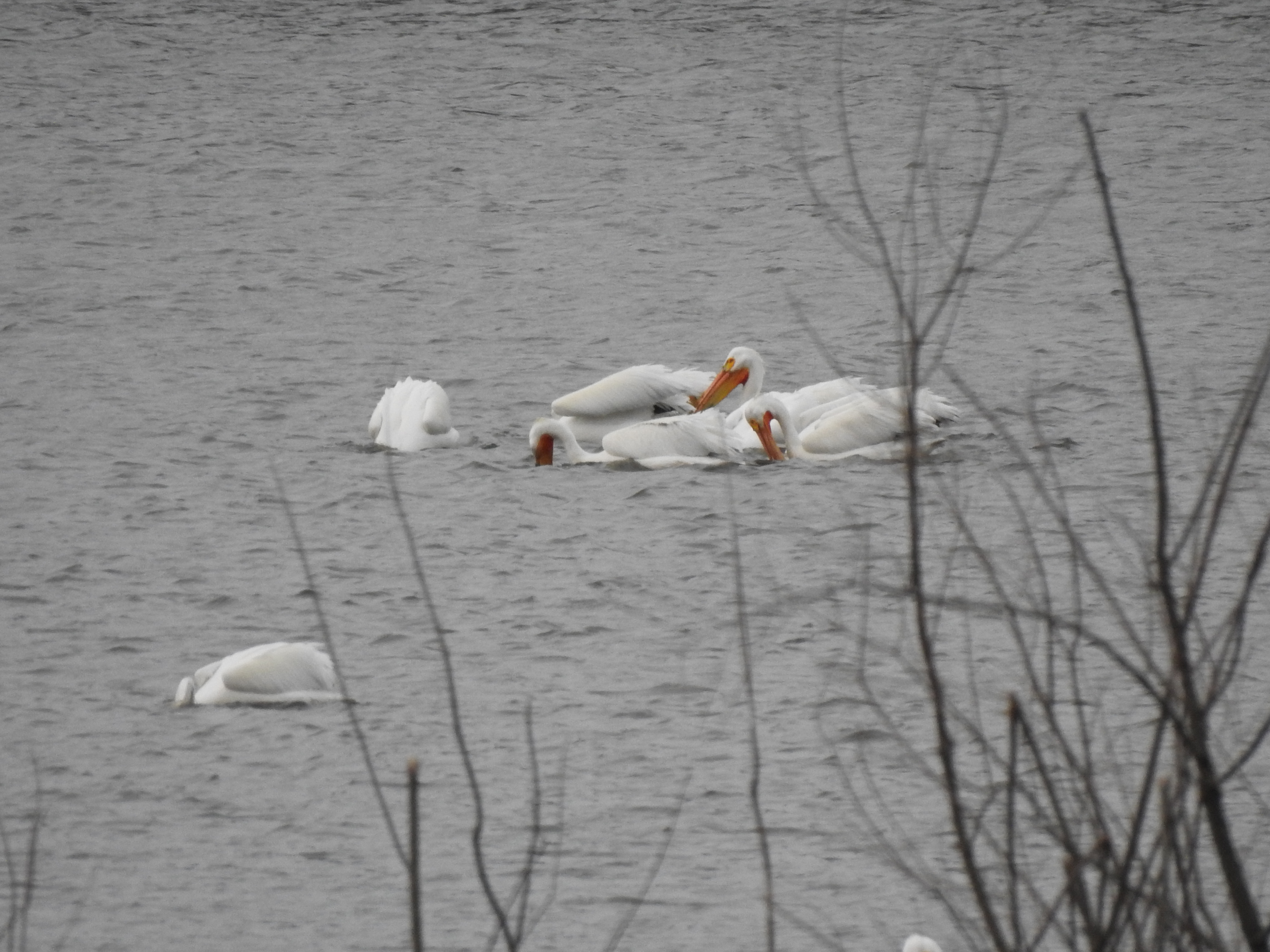(2/2) Pelicans swim on Lake Law. nature, wildlife, animal, bird, pelican, water, lake Photo: Ed Dijak