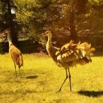 Sandhill cranes outside Site 40 show off. nature, wildlife, animal, bird, sandhill crane, crane Photo: Steve Carrigan
