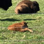 (1/2) The bison is a day old. bison Photo: Jesse and Quentin Yung