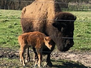 (2/2) Day-old bison nuzzles against her mother. bison Photo: Jesse and Quentin Yung