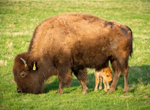 The Fermilab bison herd welcomed its first baby this season on April 20. Photo: Reidar Hahn