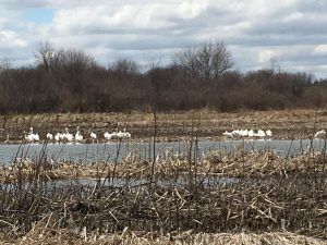 Katee Peters photographed American white pelicans at lunchtime Friday, April 12, hanging out at the lake by the Anderson Barn. You can identify them by their black-edged white wings that and 9-foot wingspan. nature, wildlife, landscape, animal, bird, pelican, water, lake, pond Photo: Katee Peters