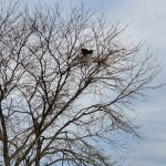 (1/4) On Monday, May 6, the photographer saw a bald eagle on a tree near Swenson Road, not far from the DZero building. nature, wildlife, animal, bird, eagle, tree, plant, sky Photo: Julius Borchert