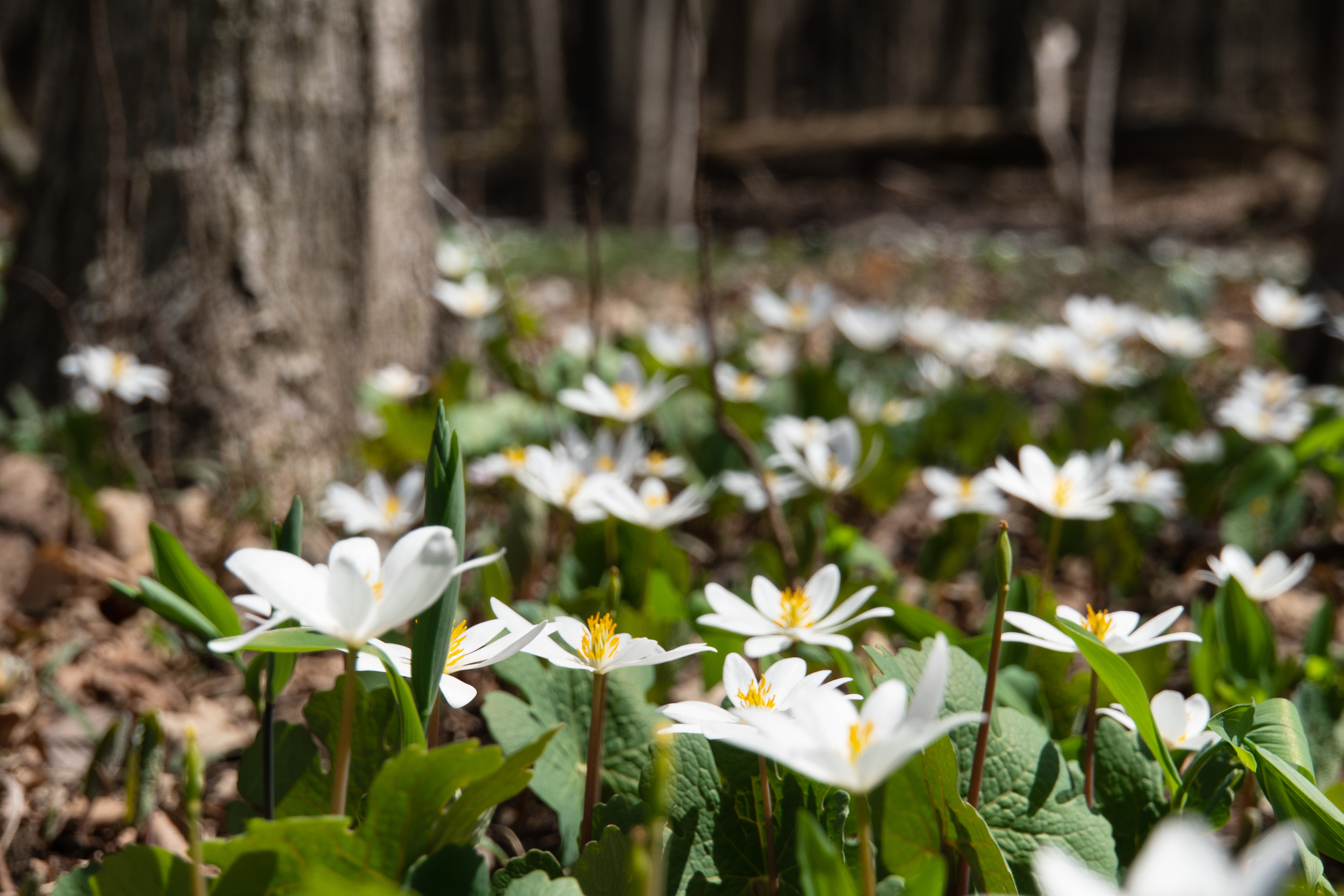 (1/4) Fermilab ecologist Wally Levernier led a wildflower walk for Earth Day on April 22. Bloodroot carpets the landscape. nature, plant, flower, bloodroot, woods Photo: Marguerite Tonjes