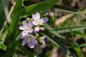 (4/4) These are called spring beauties. nature, plant, flower, spring beauty Photo: Marguerite Tonjes