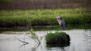 A heron rests in the Main Ring pond and peacefully enjoys the end of a beautiful day. nature, wildlife, animal, bird, heron, pond Photo: Adrien Hourlier