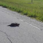 Turtles are crossing our roads. Let's avoid them! nature, wildlife, animal, reptile, turtle, landscape Photo: Luciano Elementi