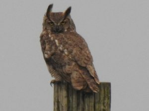 You lookin' at me? An owl on a post perch looks for breakfast on a cloudy morning behind the DZero Outback. nature, wildlife, bird, owl Photo: Ed Dijak
