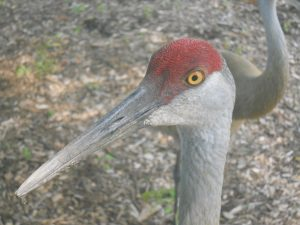 (2/2) Although they were just outside the window, they could not see inside because of the window coating. nature, wildlife, animal, bird, sandhill crane Photo: Ed Dijak