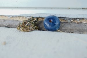 Throwback Thursday: At SiDet folks had been seeing lots of frogs. Here is a teeny one next to a blueberry, set down for scale. nature, wildlife, fruit, amphibian, animal, frog Photo: Leticia Shaddix
