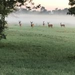 This photo was captured along Wilson Road heading into the lab at approximately 5:30 a.m. on Aug. 2. The deer all had their heads down and were eating. But when the photographer stopped, the deer all looked up at the same time and stared at him while he zoomed and snapped the photo. nature, wildlife, animal, mammal, deer, prairie, landscape, summer, fog Photo: Mike Piekarski