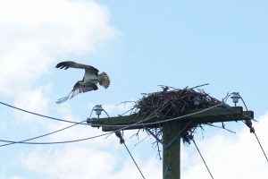This photo of an osprey was taken on Aug. 1. Maybe it's the same osprey that left the fish on the post. nature, wildlife, animal, bird, osprey Photo: Leticia Shaddix