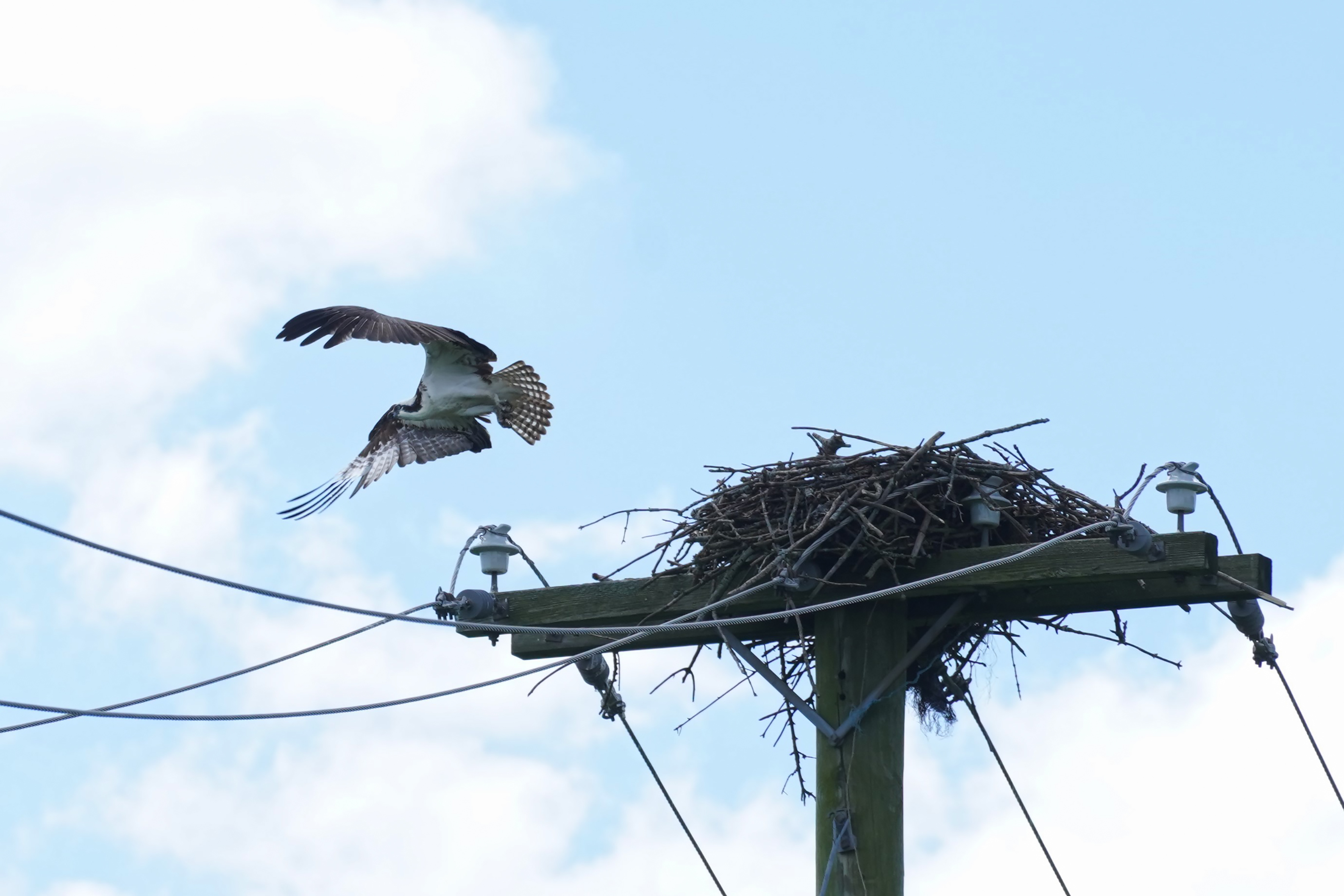 (2/4) This photo of an osprey was taken on Aug. 1. Maybe it's the same osprey that left the fish on the post. nature, wildlife, animal, bird, osprey Photo: Leticia Shaddix