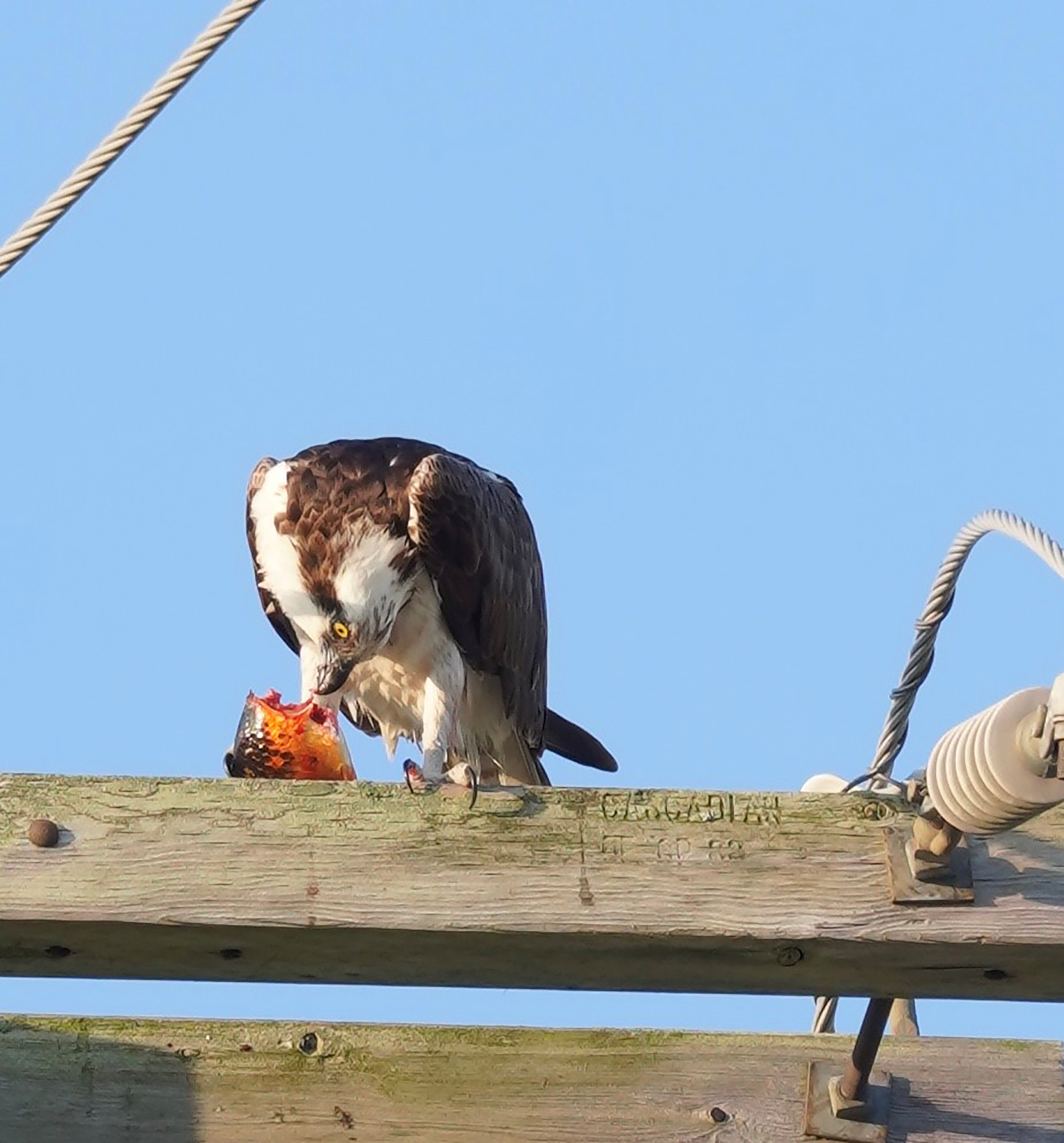 (3/4) A hawk enjoys a yummy breakfast treat. nature, wildlife, animal, fish, bird, hawk Photo: Leticia Shaddix