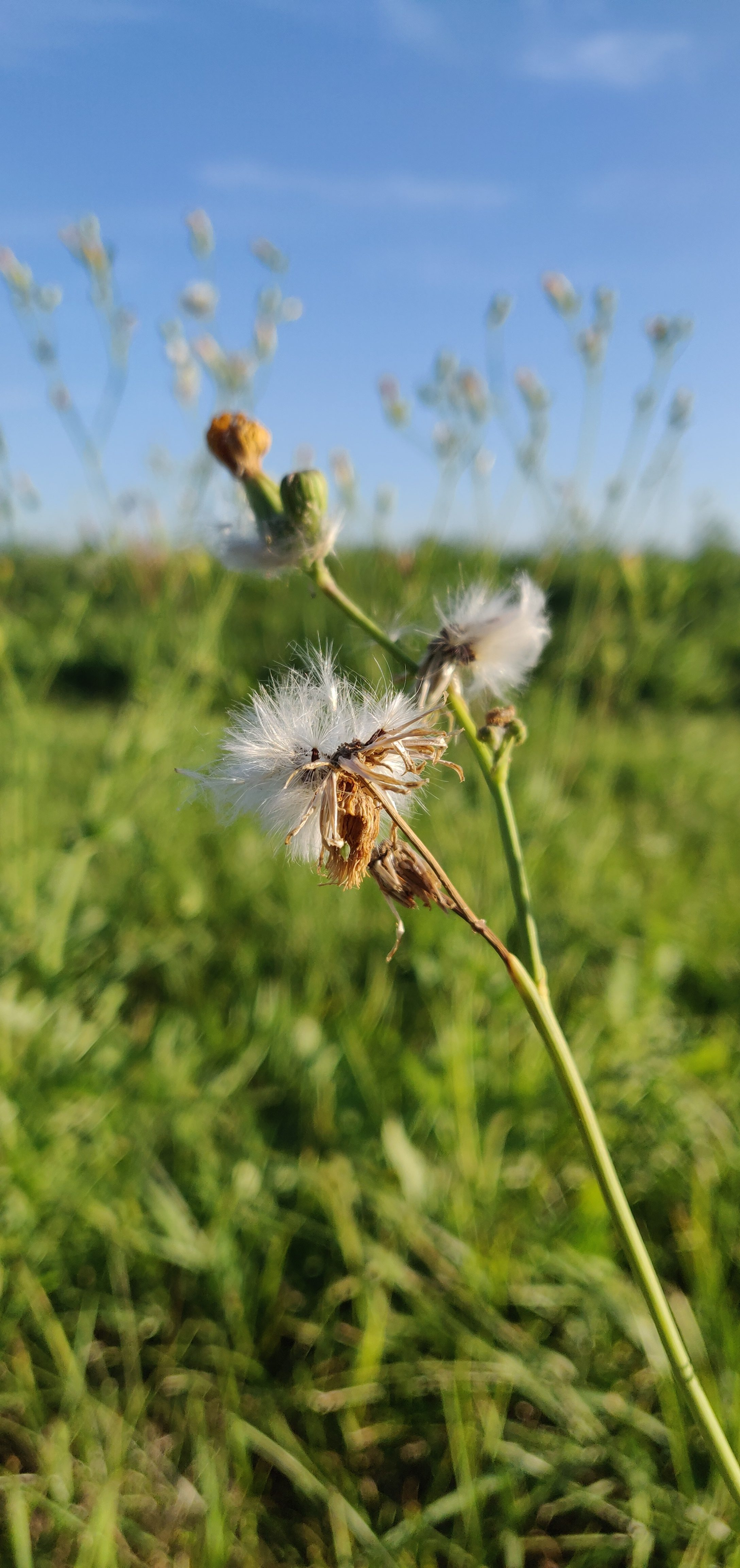 Little cotton-like puffs freely sway under the blue sky. nature, plant, landscape, sky Photo: Sudeshna Ganguly