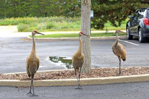 (1/2) Mr. and Mrs. Sandhill Crane visited the SiDet parking lot this morning, and brought Junior along. nature, wildlife, bird, crane, sandhill crane Photo: Leticia Shaddix