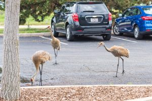 (2/2) Surprisngly, they did not visit the Bubble Chamber. They did, however, look around for a tasty snack. nature, wildlife, animal, bird, crane, sandhill crane Photo: Leticia Shaddix