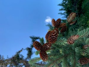 (2/4) Pine cones appear against a rich, blue sky. nature, landscape, plant, pine cone, sky, tree Photo: Spring Barrett