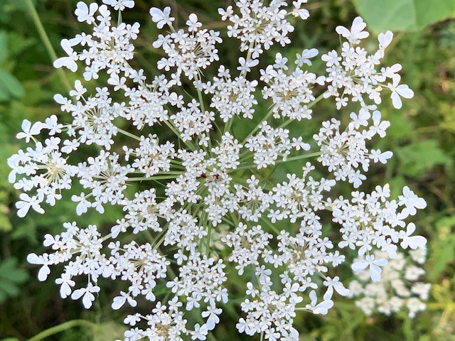 (4/4) Queen Anne's lace fills the frame. nature, plant, flower, Queen Anne's lace Photo: Spring Barrett