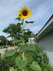 (1/2) Sunflowers bask in the sun in the Fermilab Playgroup garden in the Village. nature, plant, flower, sunflower Photo: Carrie McGivern