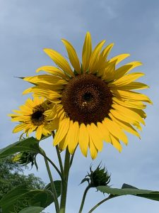 (2/2) The sunflowers are complete with bee! nature, wildlife, plant, flower, sunflower, animal, insect, bee Photo: Carrie McGivern