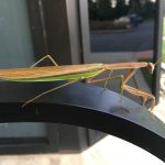 (3/3) This is clearly your good side. nature, wildlife, animal, insect, praying mantis Photo: Bill Barker