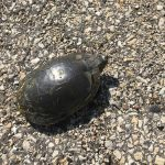 Large water turtle goes out for a stroll across the parking lot on Aug. 13. nature, wildlife, reptile, turtle Photo: Bill Barker